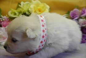 ポメラニアンの子犬(ID:1246711739)の2枚目の写真/更新日:2018-06-04
