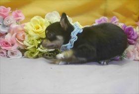 チワワ(ロング)の子犬(ID:1246711740)の1枚目の写真/更新日:2017-07-03