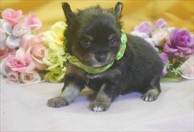 チワワ(ロング)の子犬(ID:1246711741)の1枚目の写真/更新日:2017-07-03