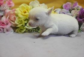 チワワ(ロング)の子犬(ID:1246711742)の1枚目の写真/更新日:2017-07-03