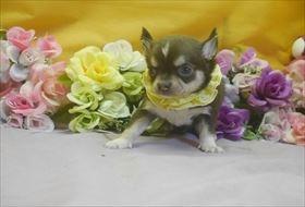 チワワ(ロング)の子犬(ID:1246711743)の1枚目の写真/更新日:2017-07-03