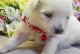 ポメラニアンの子犬(ID:1246711744)の1枚目の写真/更新日:2018-06-04