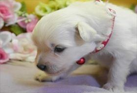 ポメラニアンの子犬(ID:1246711744)の2枚目の写真/更新日:2018-06-04
