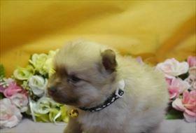 ポメラニアンの子犬(ID:1246711746)の1枚目の写真/更新日:2018-06-04