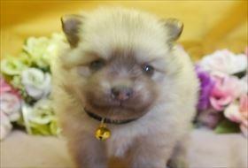 ポメラニアンの子犬(ID:1246711746)の2枚目の写真/更新日:2018-06-04