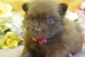 ポメラニアンの子犬(ID:1246711747)の1枚目の写真/更新日:2017-07-03