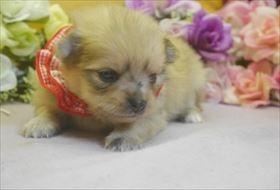 ポメラニアンの子犬(ID:1246711748)の1枚目の写真/更新日:2017-07-03