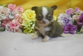 チワワ(ロング)の子犬(ID:1246711749)の1枚目の写真/更新日:2017-07-03