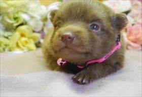 ポメラニアンの子犬(ID:1246711750)の1枚目の写真/更新日:2018-06-04