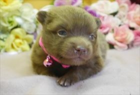 ポメラニアンの子犬(ID:1246711750)の2枚目の写真/更新日:2018-06-04