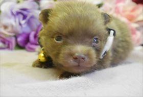 ポメラニアンの子犬(ID:1246711751)の1枚目の写真/更新日:2018-06-04