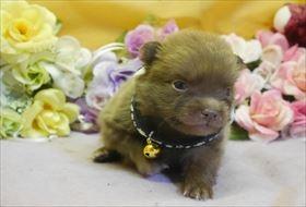 ポメラニアンの子犬(ID:1246711751)の2枚目の写真/更新日:2018-06-04