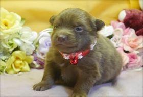 ポメラニアンの子犬(ID:1246711752)の1枚目の写真/更新日:2017-07-03