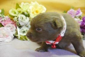 ポメラニアンの子犬(ID:1246711752)の2枚目の写真/更新日:2018-06-04