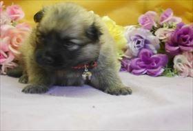 ポメラニアンの子犬(ID:1246711753)の1枚目の写真/更新日:2017-07-03