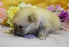 ポメラニアンの子犬(ID:1246711754)の1枚目の写真/更新日:2017-07-03