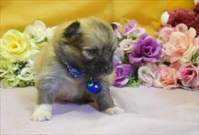 ポメラニアンの子犬(ID:1246711755)の1枚目の写真/更新日:2017-07-03