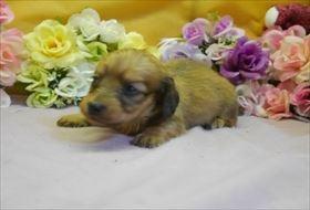 ミニチュアダックスフンド(ロング)の子犬(ID:1246711757)の1枚目の写真/更新日:2017-07-03