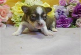 チワワ(ロング)の子犬(ID:1246711759)の1枚目の写真/更新日:2017-07-03