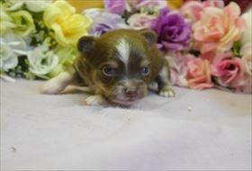 チワワ(ロング)の子犬(ID:1246711760)の1枚目の写真/更新日:2017-07-03