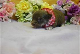 チワワ(ロング)の子犬(ID:1246711761)の1枚目の写真/更新日:2017-07-03