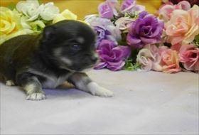 チワワ(ロング)の子犬(ID:1246711762)の1枚目の写真/更新日:2017-07-03
