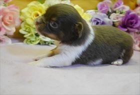 チワワ(ロング)の子犬(ID:1246711763)の1枚目の写真/更新日:2017-07-03