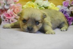 ポメラニアンの子犬(ID:1246711764)の1枚目の写真/更新日:2017-07-03