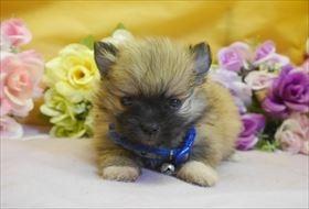 ポメラニアンの子犬(ID:1246711766)の1枚目の写真/更新日:2017-07-03