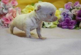 チワワ(スムース)の子犬(ID:1246711767)の1枚目の写真/更新日:2017-07-03