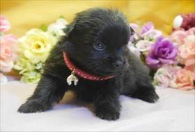 ポメラニアンの子犬(ID:1246711768)の1枚目の写真/更新日:2017-07-03
