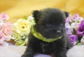 ポメラニアンの子犬(ID:1246711769)の1枚目の写真/更新日:2017-07-03