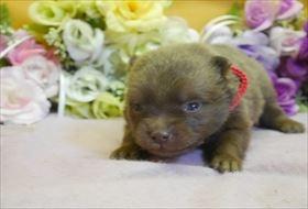 ポメラニアンの子犬(ID:1246711770)の1枚目の写真/更新日:2017-07-03
