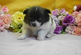 ポメラニアンの子犬(ID:1246711771)の1枚目の写真/更新日:2017-07-03