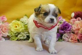 チワワ(ロング)の子犬(ID:1246711772)の1枚目の写真/更新日:2017-07-07