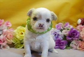 チワワ(ロング)の子犬(ID:1246711773)の1枚目の写真/更新日:2017-07-07