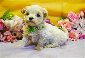 マルチーズの子犬(ID:1246711774)の1枚目の写真/更新日:2017-07-07