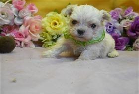 マルチーズの子犬(ID:1246711775)の1枚目の写真/更新日:2017-07-07
