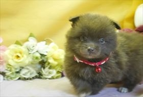 ポメラニアンの子犬(ID:1246711776)の1枚目の写真/更新日:2017-09-28