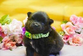 ポメラニアンの子犬(ID:1246711777)の1枚目の写真/更新日:2017-09-28