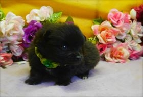 ポメラニアンの子犬(ID:1246711777)の2枚目の写真/更新日:2019-05-17