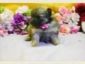 ポメラニアンの子犬(ID:1246711778)の1枚目の写真/更新日:2019-05-17