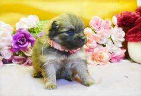 ポメラニアンの子犬(ID:1246711778)の2枚目の写真/更新日:2019-05-17