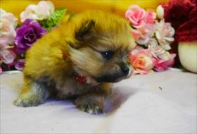 ポメラニアンの子犬(ID:1246711779)の1枚目の写真/更新日:2019-05-17