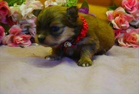 ポメラニアンの子犬(ID:1246711780)の1枚目の写真/更新日:2019-05-17