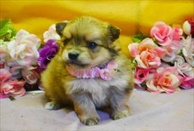 ポメラニアンの子犬(ID:1246711781)の1枚目の写真/更新日:2019-05-17