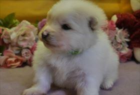 ポメラニアンの子犬(ID:1246711782)の1枚目の写真/更新日:2017-09-28