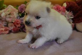 ポメラニアンの子犬(ID:1246711783)の1枚目の写真/更新日:2017-09-28