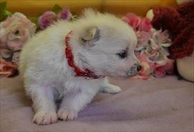 ポメラニアンの子犬(ID:1246711783)の2枚目の写真/更新日:2019-02-20