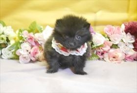 ポメラニアンの子犬(ID:1246711784)の1枚目の写真/更新日:2017-09-28